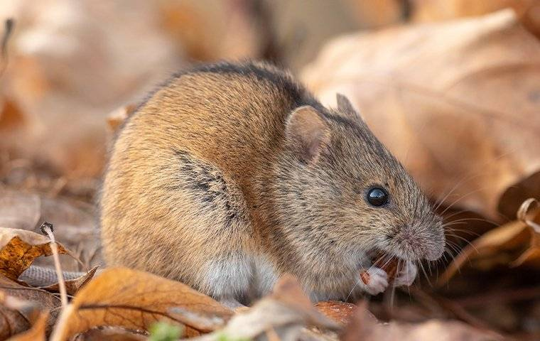 a house mouse crawling in a pile of leaves