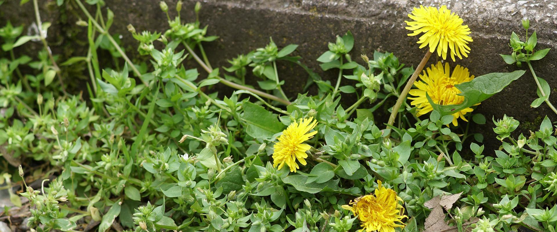 weeds on sidewalk