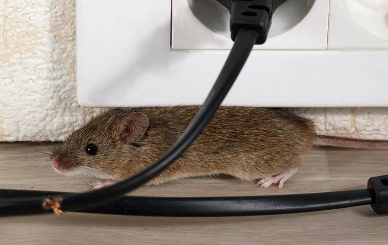 a mouse crawling under a desk and chewing wires