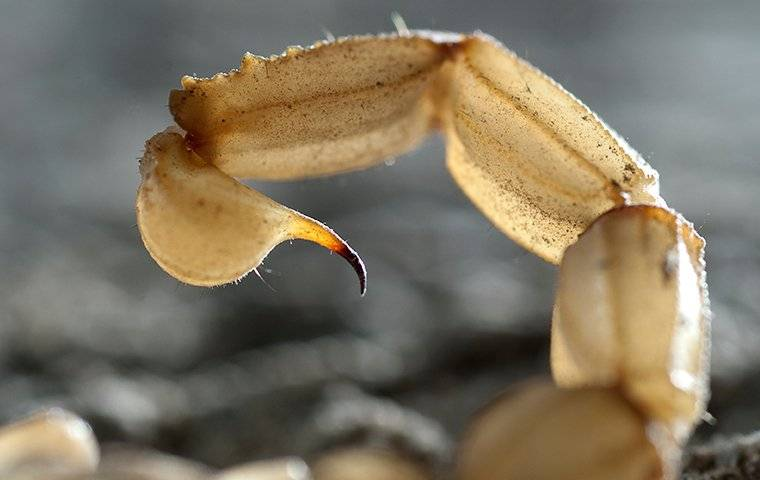 an up close image of a scorpion tail about to sting