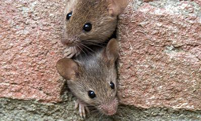 mice in a wall