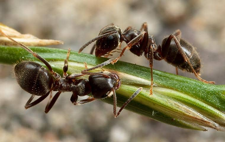 two ants on a green stalk of vegetation outside a home in manteca california