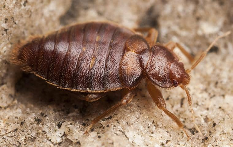 bed bug crawling on the floor of a escalon area home