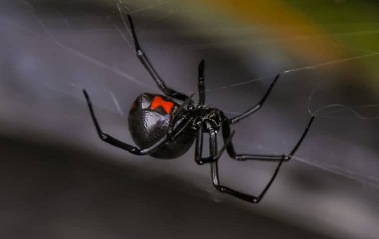 adult black widow spider in its web