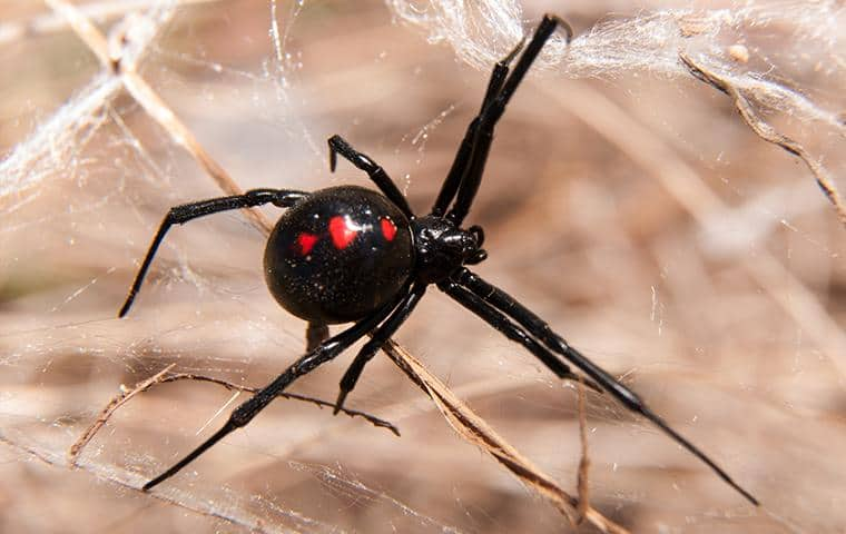 black widow spider in its web located in the parking lot of a manteca business