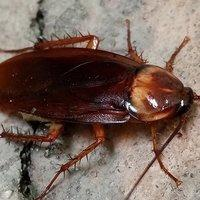 american cockroach crawling on home foundation