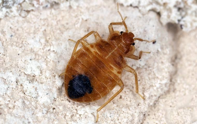 bed bug on ground in greater sacramento