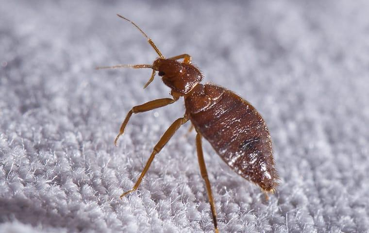 a bed bug crawling through out the linens of a medoest california home