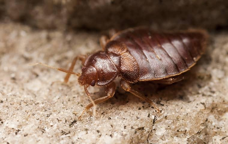 a fully grown adult bed bug crawling along a residential california floor