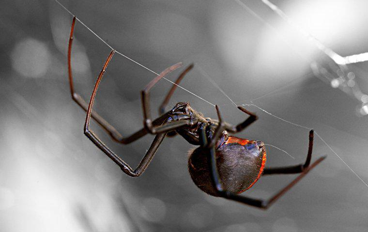 a black widow spider crawling in its web at night