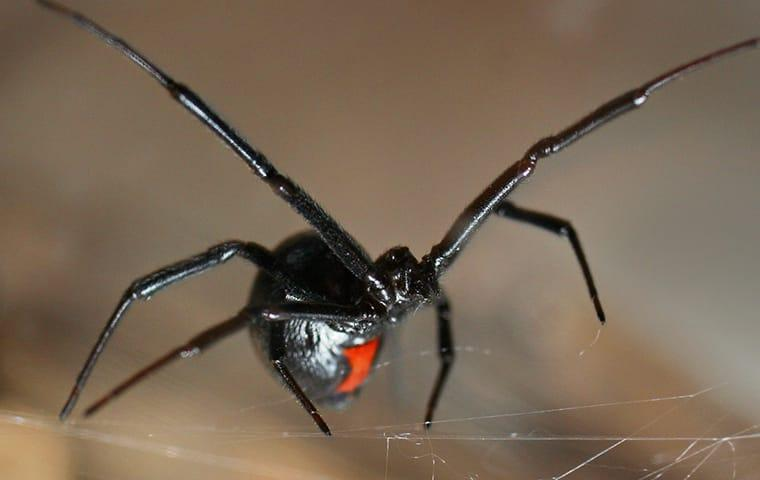 a black widow spider in web