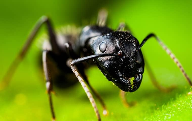 a black carpenter ant crawling along the vibrant green leaves of a modesto california  house plant
