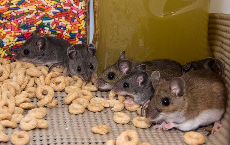 a family of house mice invading the cupboards of a mondesto kitchen
