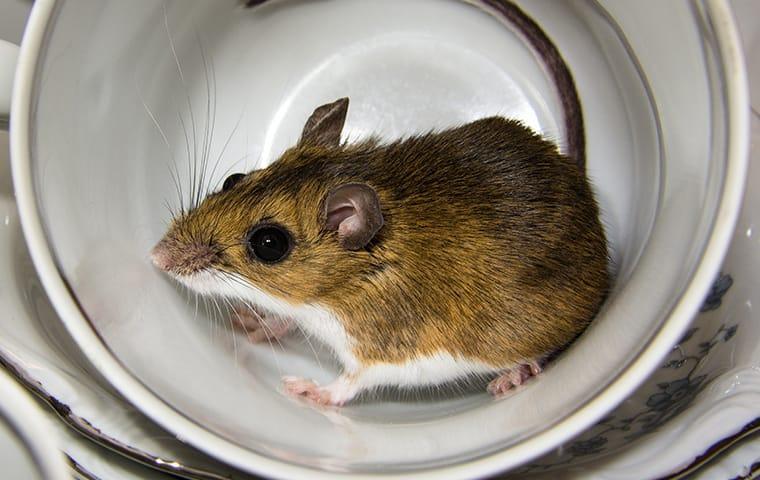 a house mouse fallen into a modesto california tea cup