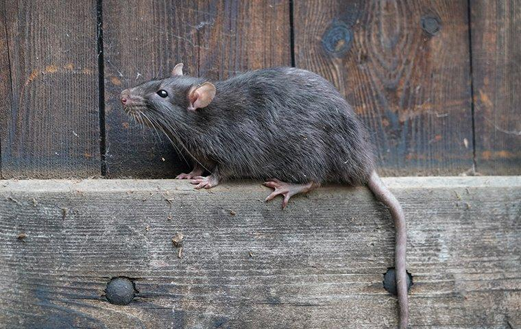 a norway rat crawling on a wooden fence