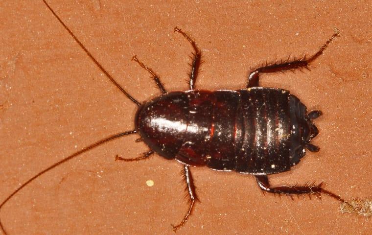 an oriental cockroach infestation inside of a modesto california home