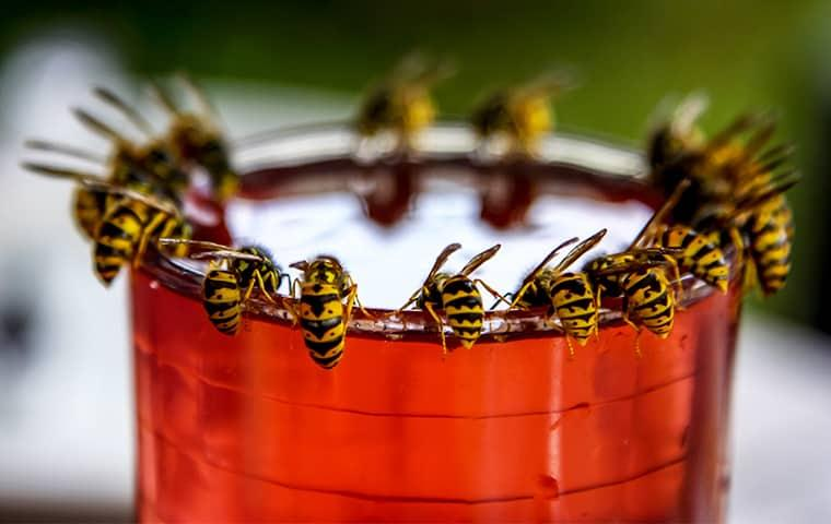 wasps around the rim of a cup