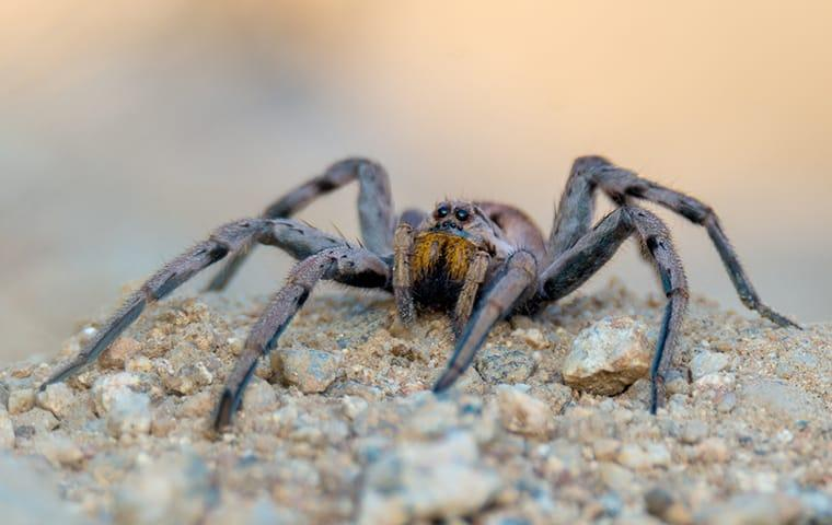 a wolf spider crawling along a home in modesto california