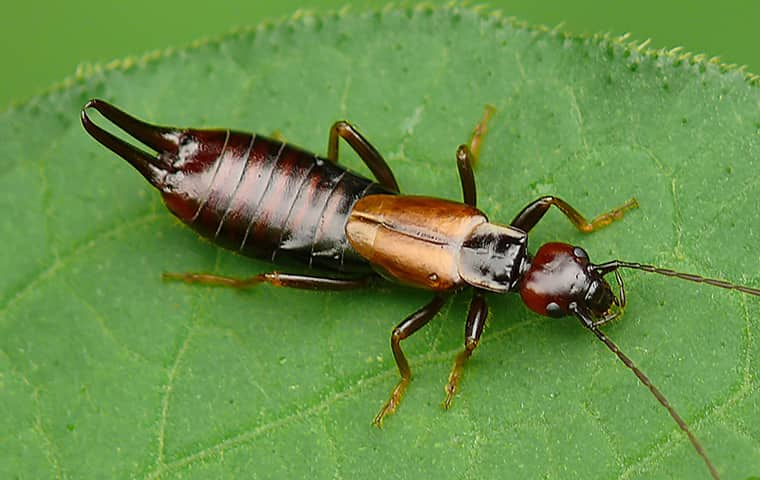 detailed close up of a earwig on a green leaf