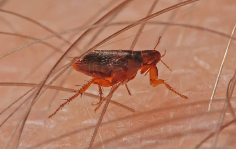 flea crawling through the arm hair of a modesto california resident
