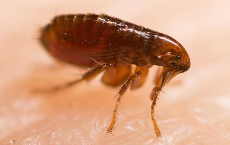 flea resting on the skin of a resident in ripon california
