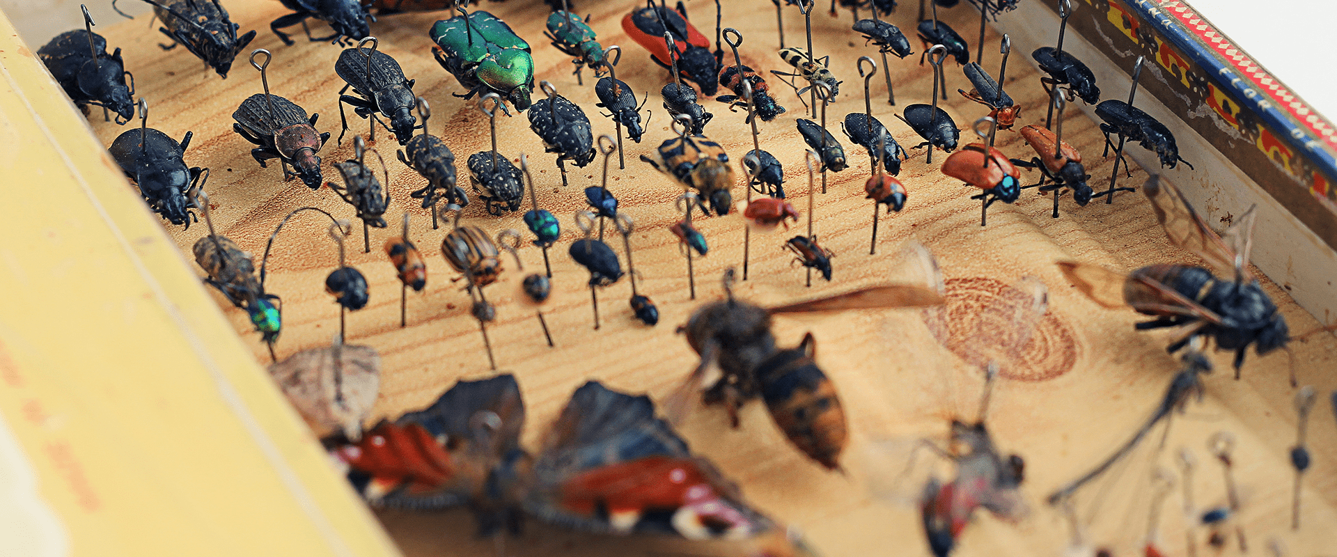 entomology collection of insect iq with insects in display case on pins