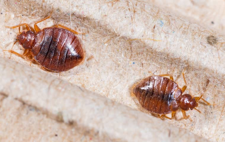 two bed bugs found under the box spring of a bed in lathrop california