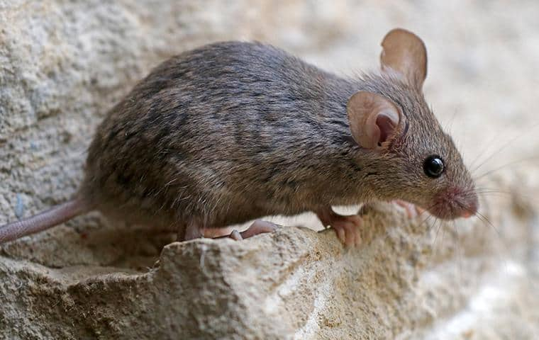 rhouse mouse resting on a basement floor in modesto california