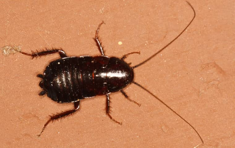 a oreintal cockroach resting on the tan tile floor of a home in oakdale