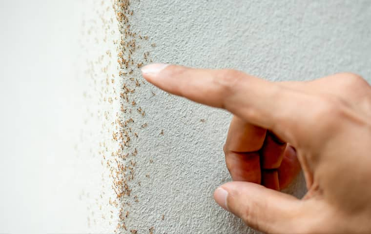 service technician pointing out a patch of tiny ants