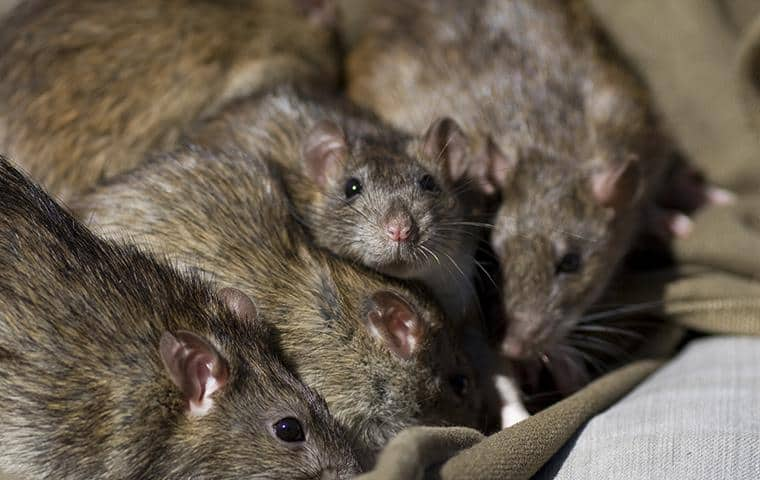 a group of five rats discovered feeding on pantry items