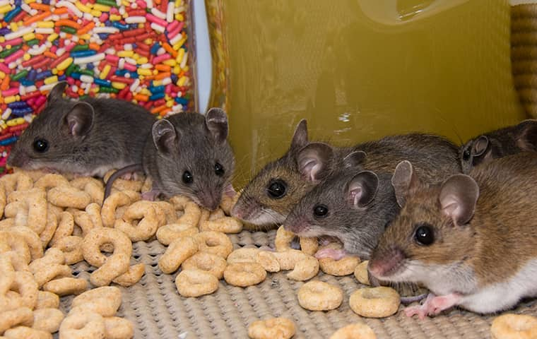 group of six small mice in a pantry drawer eating cereal