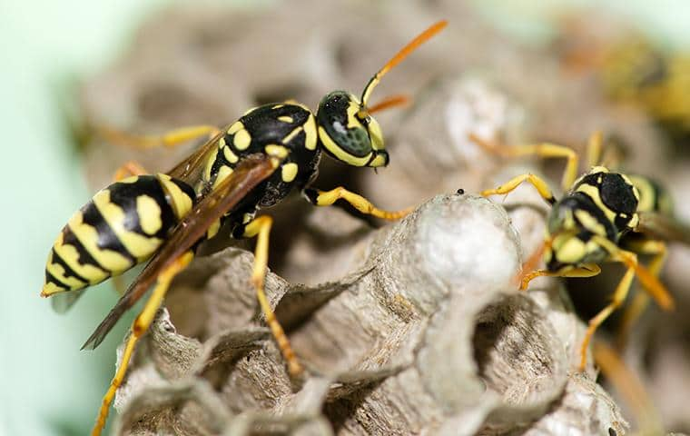 two yellow jacket hornets on a nest found under a home eave