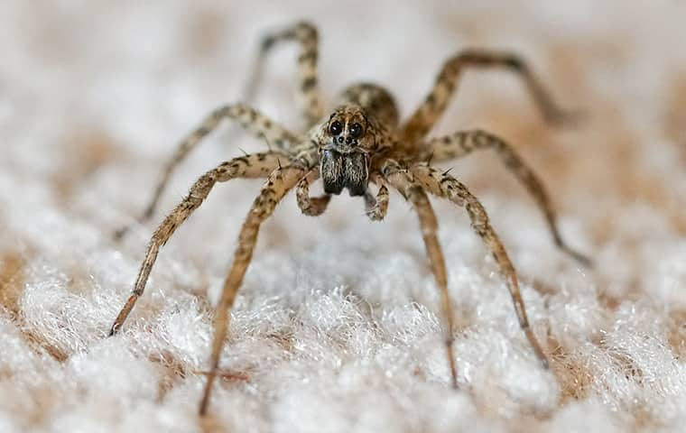 a wolf spider about to jump from a carpeted basement floor in manteca
