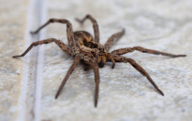 wolf spider crawling on a tile bathroom floor in ceres california