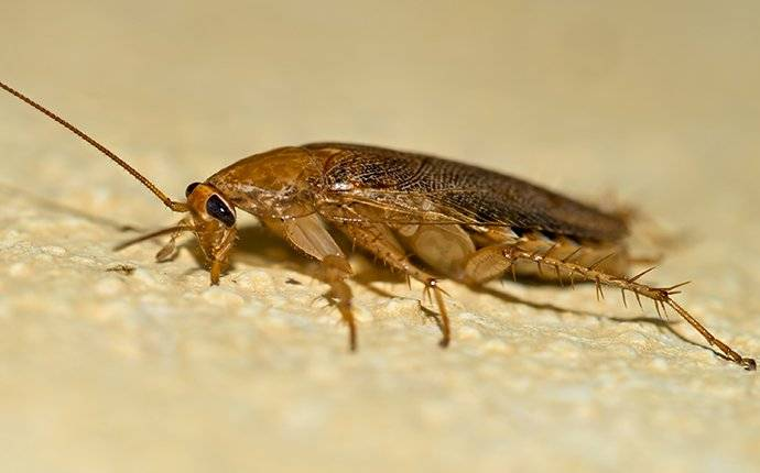 a german cockroach insside of a house