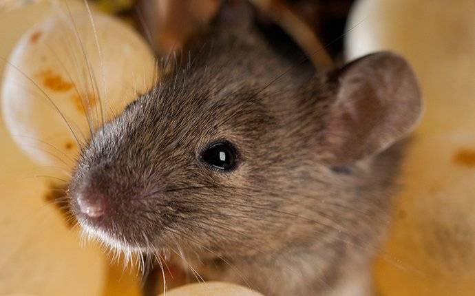 a house mouse eating grapes