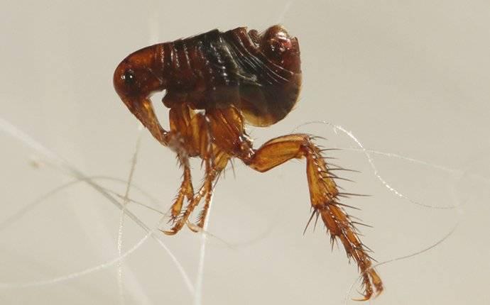 a flea jumping on pet hair