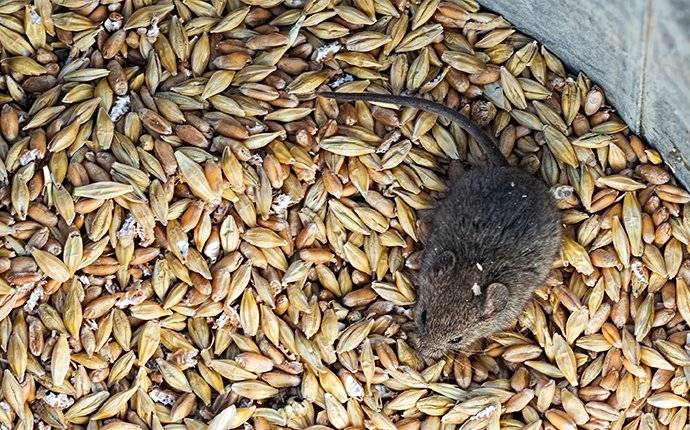 a house mouse crawling through a container of grains