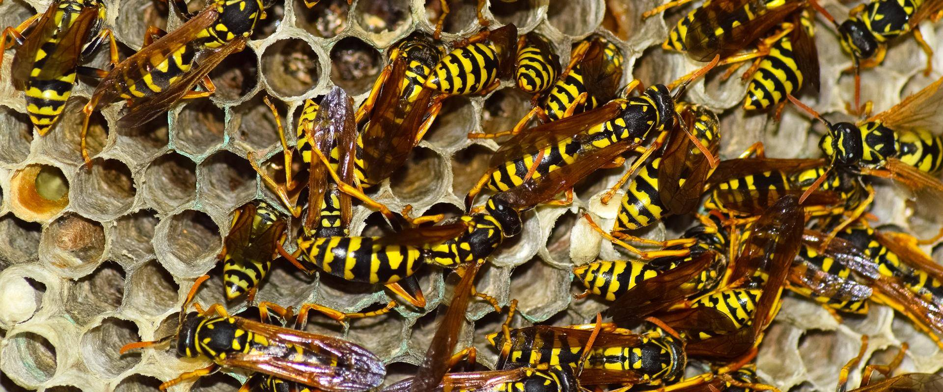 wasps on a hive