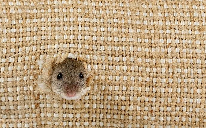 a mouse chewing a hole in burlap