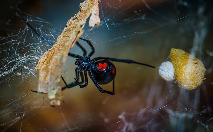 a black widow spider in its web in fayetteville georgia