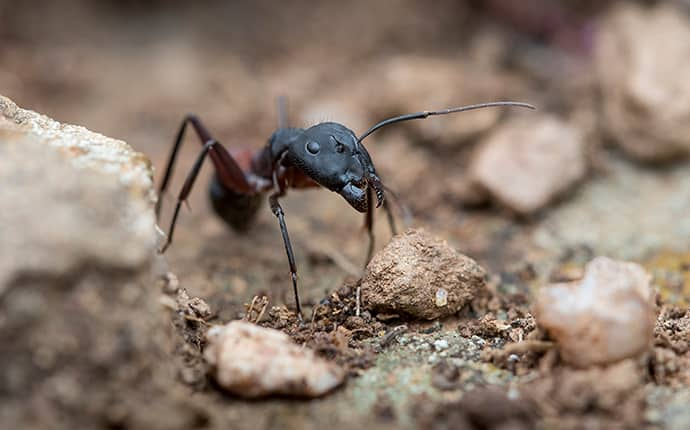 a carpenter ant on the ground in fayetteville georgia