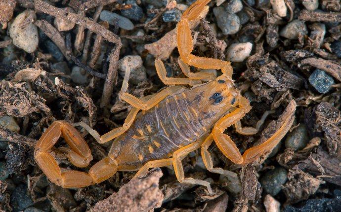 a scorpion on the rocks in fayetteville georgia