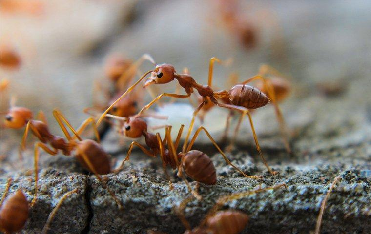 fire ants outside a california home
