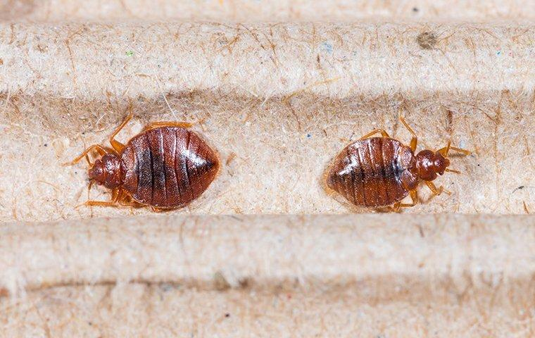two bed bugs on a mattress box spring