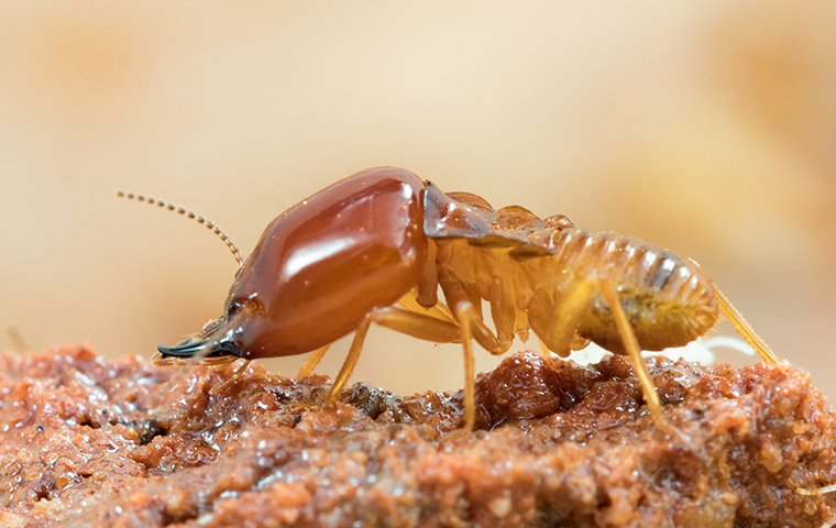 a termite chewing on decayed wood