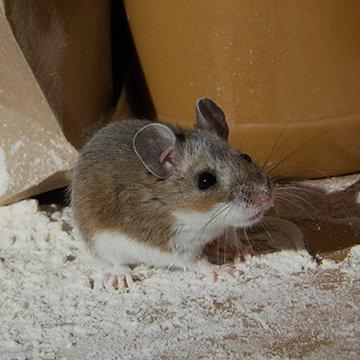 little house mouse in flour