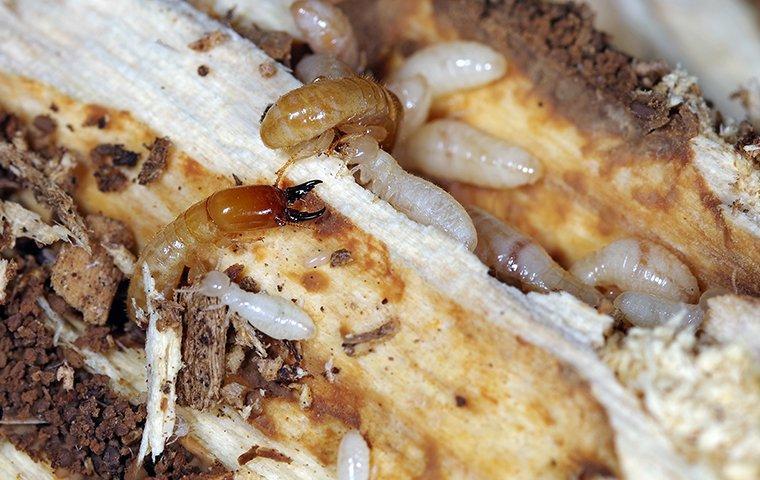drywood termites destroying rotten wood