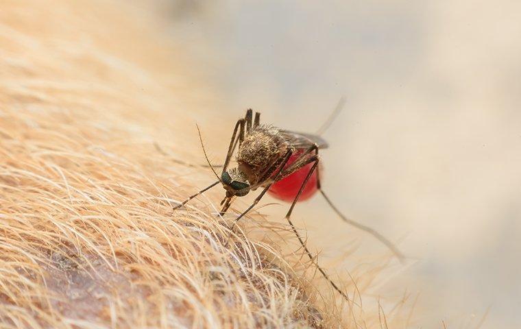 a mosquito biting pet dog